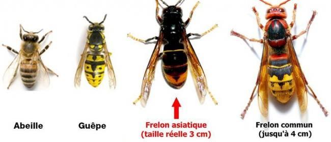 Frelons asiatique identification