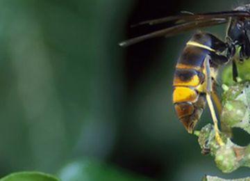 Le frelon asiatique : quelques précautions à prendre